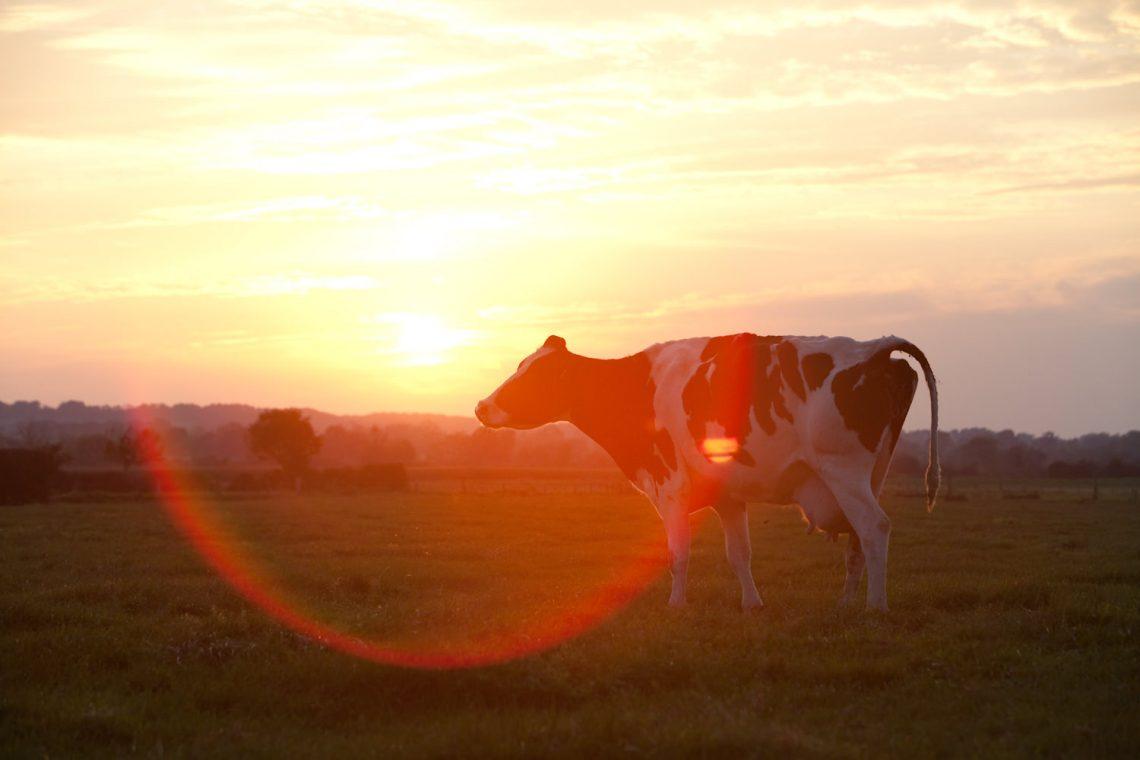 Dairy Farming in UK Devon Wedding Photography