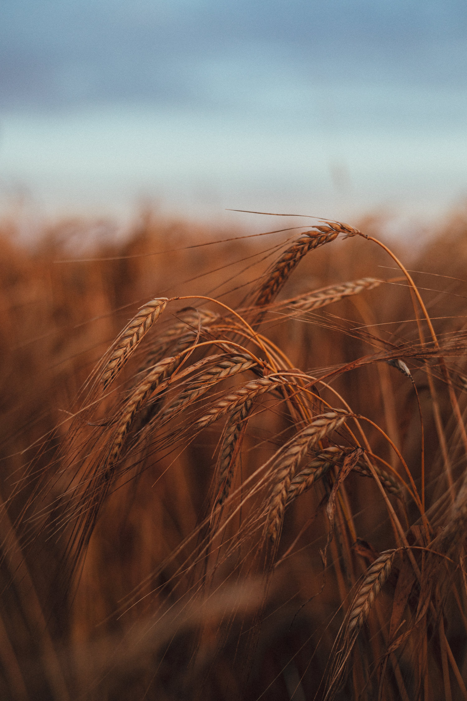 barley, barley field, summer, harvest, guest by the fire, fireside chats, Holsome Park Wedding Photography